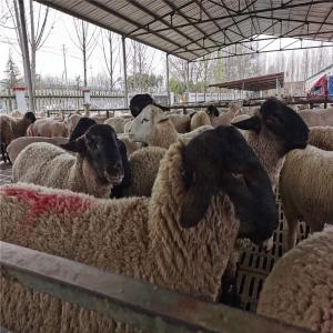 萨福克种羊养殖场电话创新致远