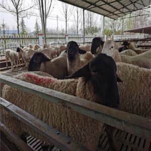 萨福克种公羊养殖让利销售