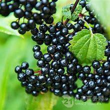 接骨木莓果粉
