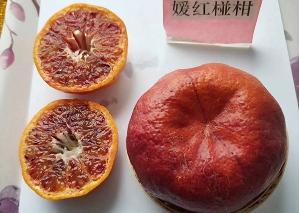 十堰嫒红柑橘苗,嫒红柑橘苗价格,十堰晚熟嫁接椪柑苗