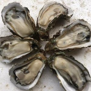 产地直销湛江活生蚝 新鲜炭烤台山珠海牡蛎 清蒸乳山海蛎子批发
