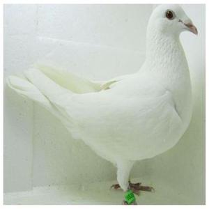 一只肉鸽 在银王鸽
