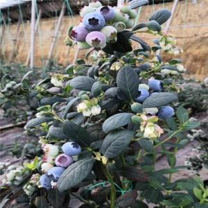 莱克西蓝莓苗价格_莱克西蓝莓苗株行距