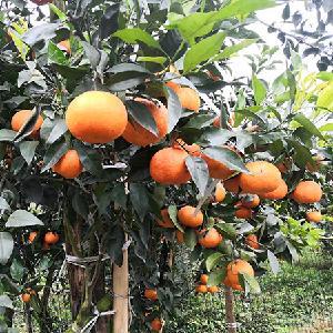 桂林阿思密明日见苗 阿思密明日见苗基地 桂林晚熟杂柑苗