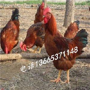 红公鸡苗批发价格 红公鸡苗价格
