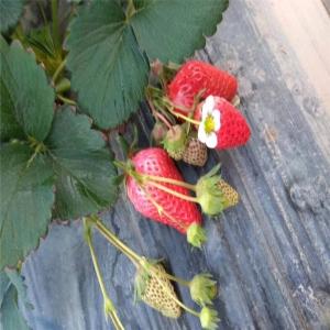 江雪草莓苗、江雪草莓苗