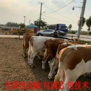 现在黄牛养殖利润