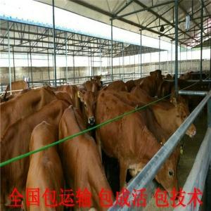 菏澤黃牛苗價格