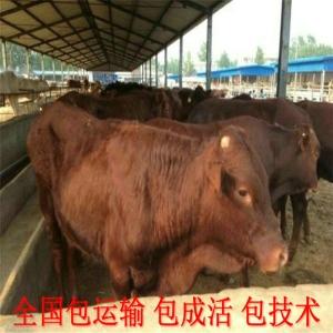 贵州大型养牛基地