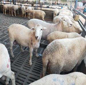 辨別純種杜泊羊 杜泊羊分為白頭杜泊羊和黑頭杜泊羊