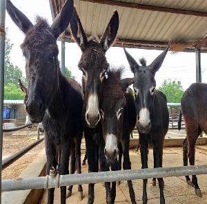 德州驢養殖基地     驢苗出售