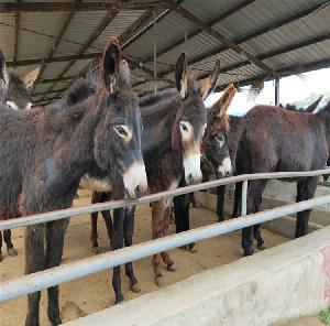 德州驴养殖场 小驴驹馿苗 出售