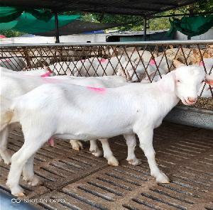 美國白山羊價錢隆發純種白山羊羊羔價格