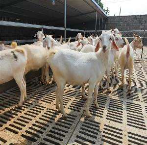 美國白山羊育苗價格隆發純種白山羊價格 可發貨供應白山羊