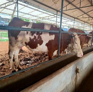 西門塔爾牛優質牛苗 魯西黃牛苗出售