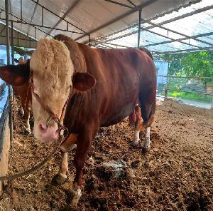西門塔爾牛價格-肉牛養殖基地-量大從優免費運輸