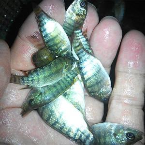 茂名供應批發放生魚苗和養殖魚苗