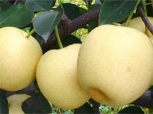 今年的山東省皇冠梨產地批發價格