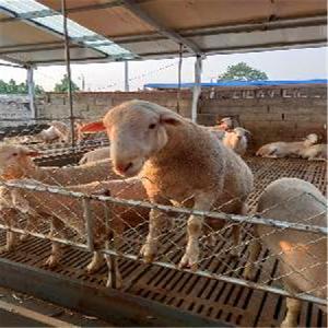 陜西澳洲白綿羊養殖場 澳洲白綿羊養殖利潤 隆發牧業