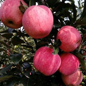 源頭直銷紅富士蘋果