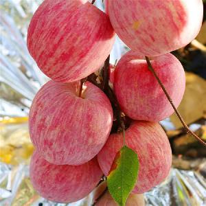 山東紅富士蘋果價格