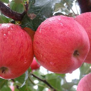 红富士苹果批发