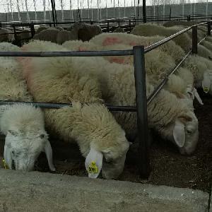 小尾寒羊一斤价格
