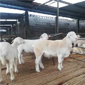 河南洛阳湖羊养殖基地 湖羊价格