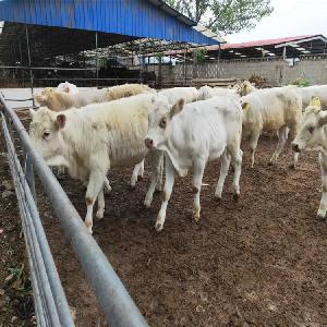 肉牛養殖技術大全