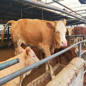 山東肉牛便宜賣