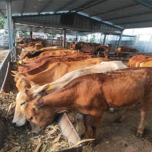 肉牛小牛犢價格