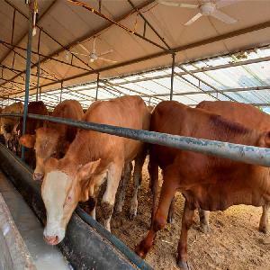 養牛的禁忌