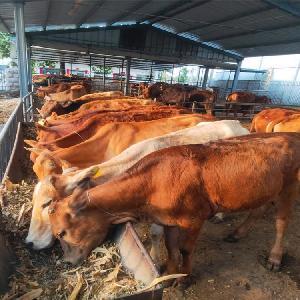 西門塔爾牛及牛犢