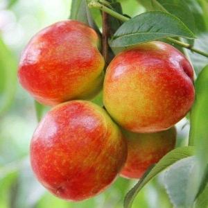 今年油桃批發價錢